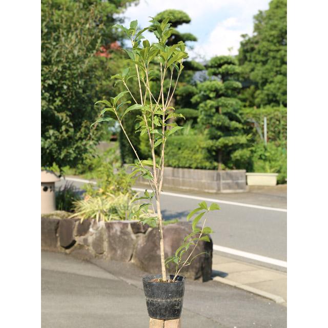 キンモクセイ 0.8m15cmポット 開催中 1本 1年間枯れ保証 生垣樹木 人気ブランド多数対象