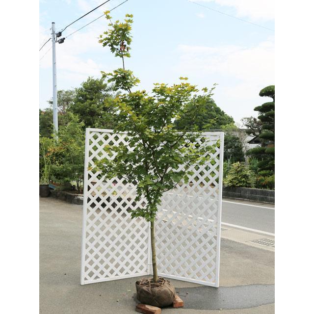 コハウチワカエデ 実生単木 2.3m露地 2本セット 1年間枯れ保証 雑木 大型商品 個別送料5600円