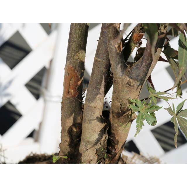 ノムラモミジ株立ち 2.0m露地 2本セット 送料無料 1年間枯れ保証 シンボルツリー落葉 green-netbox 05