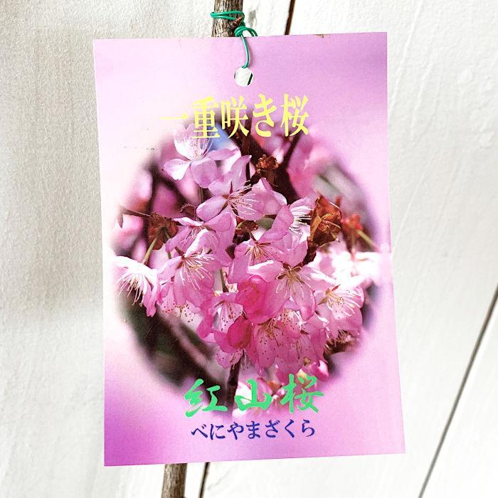 桜 苗木 紅山桜 12cmロングポット苗 さくら 苗 サクラ green-very
