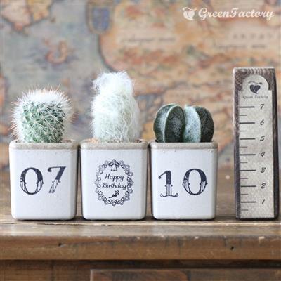 サボテン3個セット 誕生日お入れします。(2)|greenfactory