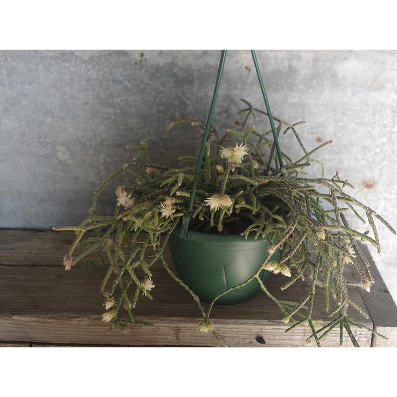 数量限定 リプサリス ピロカルパ レフグレン 吊り鉢仕立て 5 号 八ヶ岳農場から出荷します Suc Etc 004 グリーン ルームyahoo 店 通販 Yahoo ショッピング