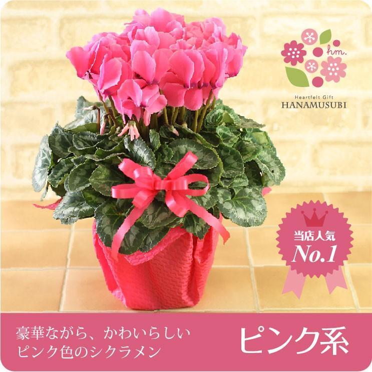 シクラメン(鉢花)6号鉢(レッド系・ピンク系・紫系・ワイン系) hana-kusamusubi 02