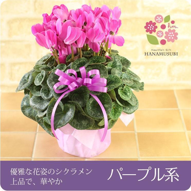 シクラメン(鉢花)6号鉢(レッド系・ピンク系・紫系・ワイン系) hana-kusamusubi 04