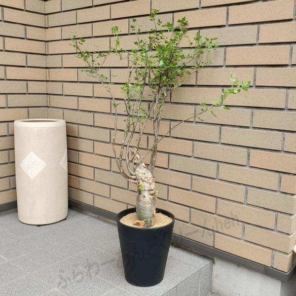 珍品: ファガロイデス 7.0 プラ鉢 ブルセラ属 観葉 多肉 塊根 植物 送料無料 現品 種類 希少種 大型 コーデックス