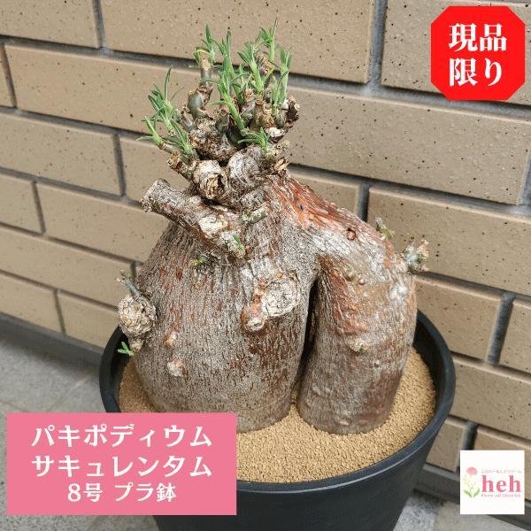 サキュレンタム 8.0 プラ鉢 パキポディウム 観葉 多肉 塊根 植物 送料無料 現品 オシャレ 室内 インテリア 種類 プレゼント コーデックス