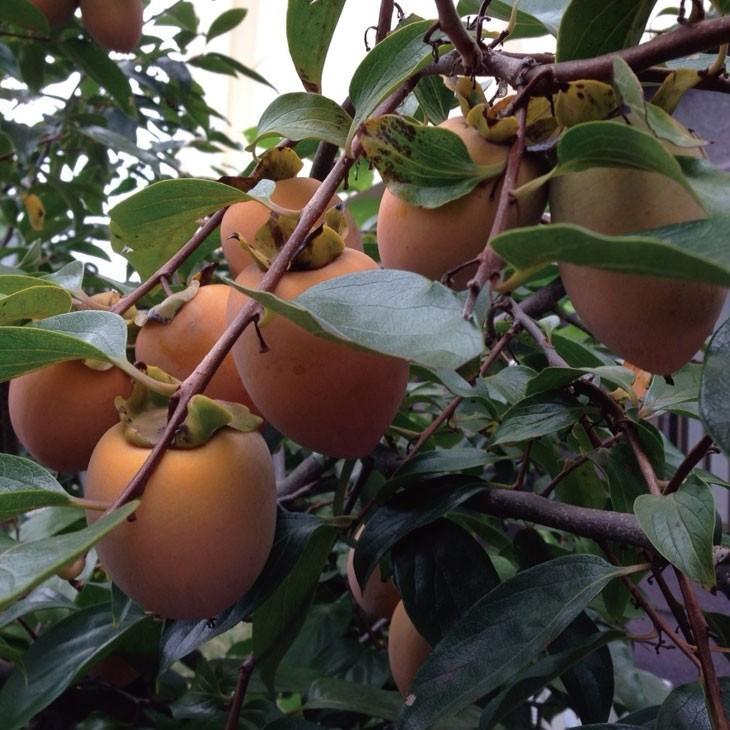 受粉樹向け 柿 苗木 不完全甘柿 ポット苗 1年生 さえふじ 受注生産品 低価格化 接ぎ木