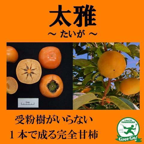超特価SALE開催 柿 苗木 完全甘柿 太雅 たいが 驚きの値段 接ぎ木 ポット苗 1年生 登録品種