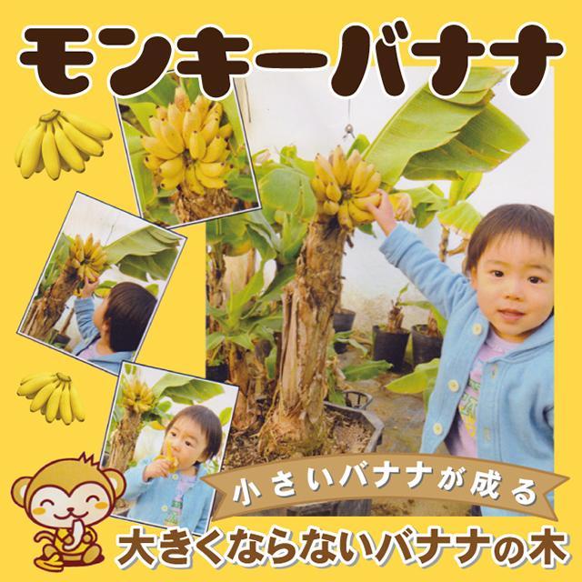 バナナ 苗 送料込 矮性バナナ ドワーフ 激安通販販売 ポット苗 1年生 モンキーバナナ