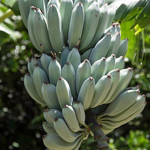 バナナ 信憑 新作アイテム毎日更新 苗 アイスクリームバナナ ポット苗 大株