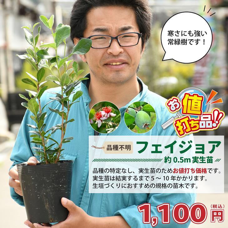 ついに再販開始 フェイジョア 苗 実生 品種不明 ポット苗 約0.5m 祝日