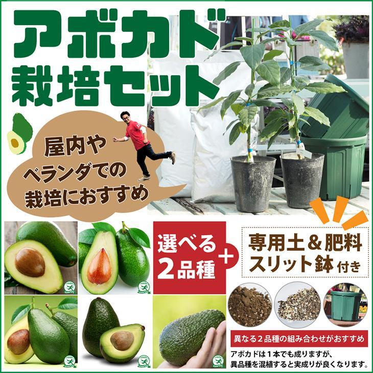 おしゃれ アボカド 苗 2品種選べる アボカド栽培セット 新入荷 流行 接ぎ木苗 2年生