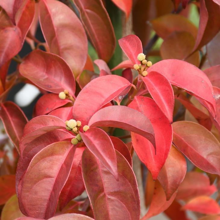 ヤマボウシ 評判 苗 常緑ヤマボウシ 高額売筋 ウィンターレッドペイジ 根巻き苗 登録品種 約1.5m