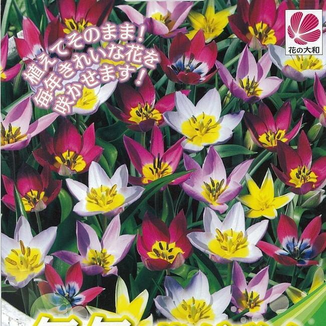 チューリップ 数量限定 球根 毎年花が咲くチューリップ 混合 贈答 予約販売10月中旬頃入荷予定 植え付け時期12月下旬まで 15球入