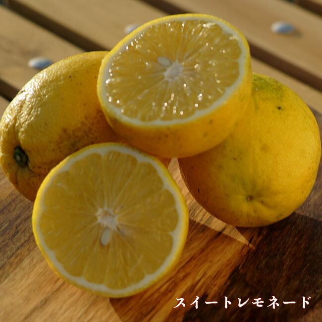 レモンの木 スイートレモネード 3年生接木大苗 予約販売9〜10月頃入荷予定 供え お値打ち価格で 産地で剪定済 1.0m苗