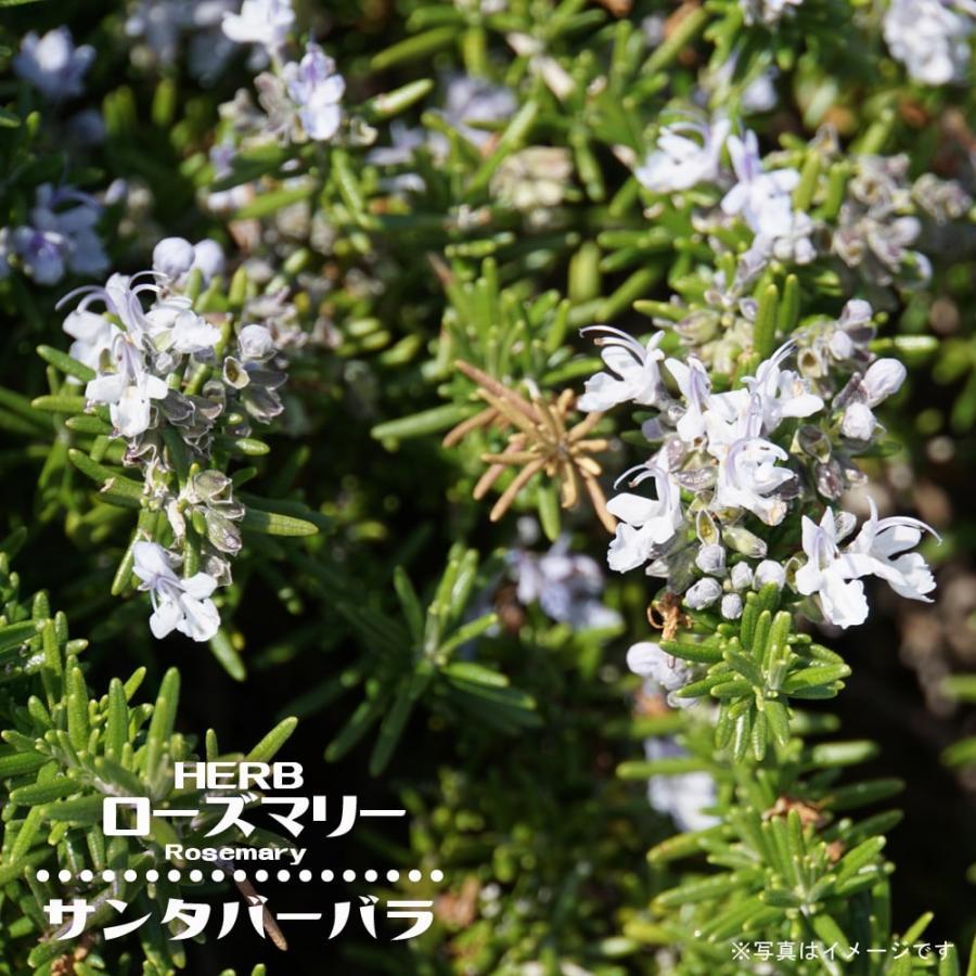 直営限定アウトレット 日本最大級の品揃え ローズマリー サンタバーバラ 匍匐性 3号ポット苗 ハーブ苗