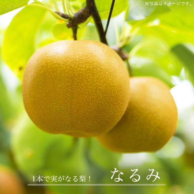 なるみ 梨 なし 3年生接木1m大苗 産地で剪定済 1.0m苗 買い物 新作多数 予約販売9〜10月頃入荷予定