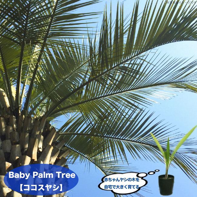SALENEW大人気! ちびっ子 ヤシの木 ココスヤシ 4号ポット苗 苗木 観葉植物 インテリアプランツ 日本 常緑樹 耐寒性