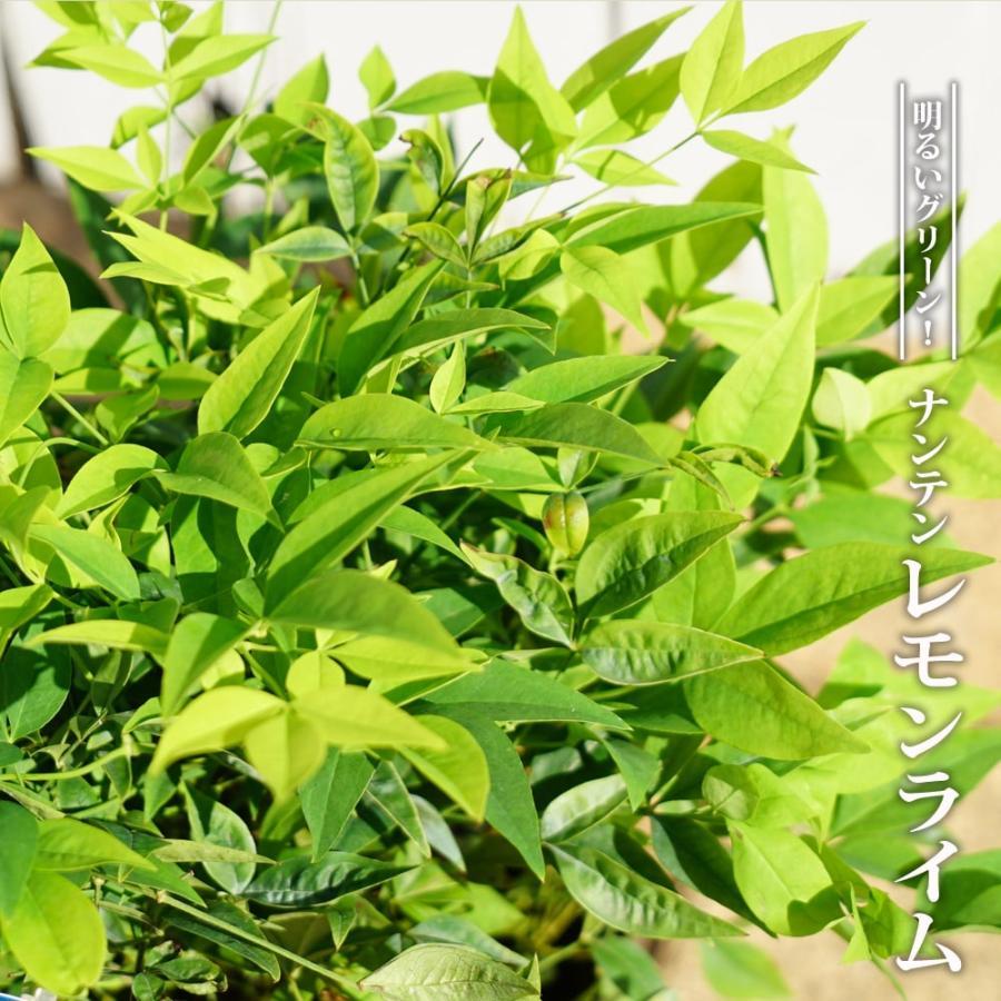 激安卸販売新品 西洋ナンテン レモンライム ポット苗 送料0円 庭木 常緑樹