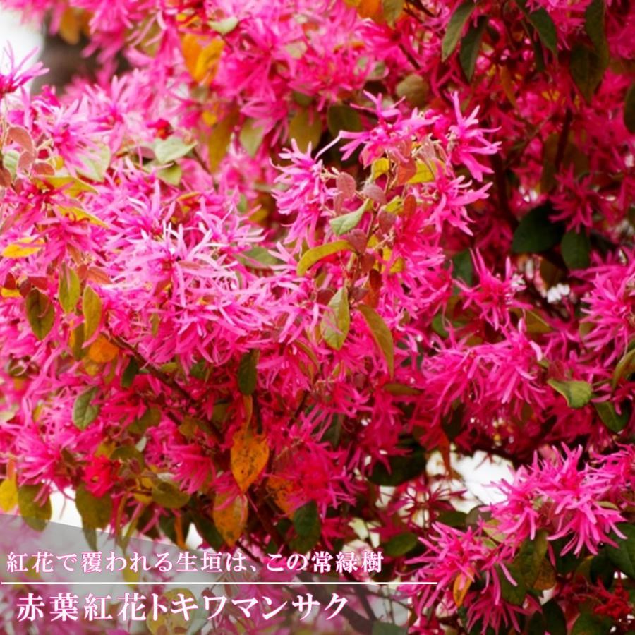 中古 赤葉紅花トキワマンサク 5号ポット苗 オリジナル