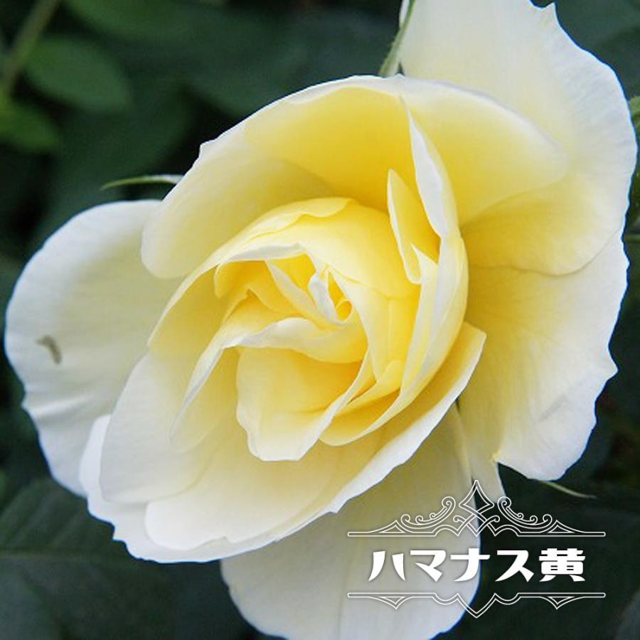 ハマナス 黄 バラ苗 1年生新苗 3 5号ポット苗 Rose Old Hamanasu Ki 1 苗木部 花ひろばオンライン 通販 Yahoo ショッピング
