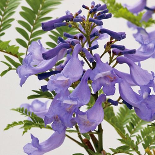 アウトレットセール 特集 わい性ジャカランダ 海外 ブルーブロッサムビューイング の苗木