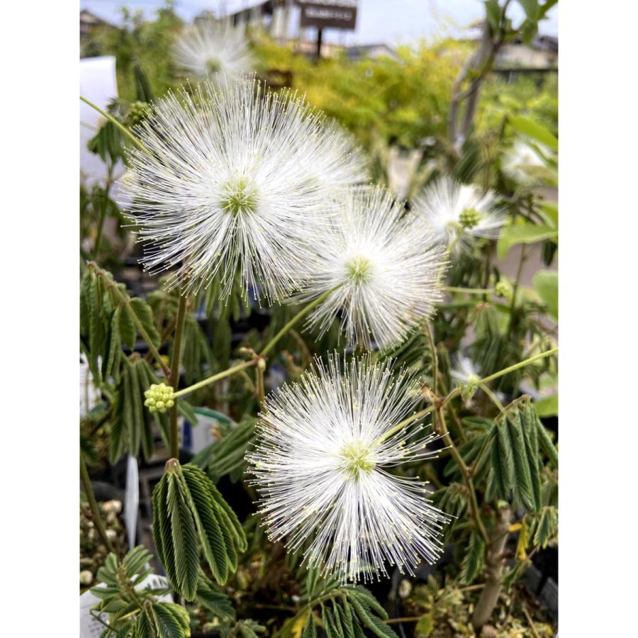 至高 カリアンドラ ポルトリケンシス の苗木 毎週更新 白花ネムノキ