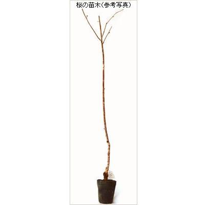 桜(サクラ)苗木 染井吉野桜 hanaikushop 02