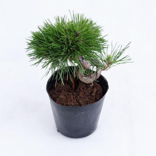 海外輸入 期間限定今なら送料無料 盆栽苗木 黒松曲付き
