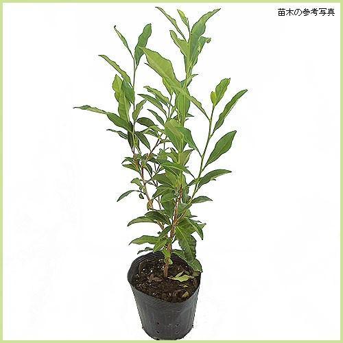 お茶の木 物品 チャノキ サヤマカオリ の苗木 新作送料無料
