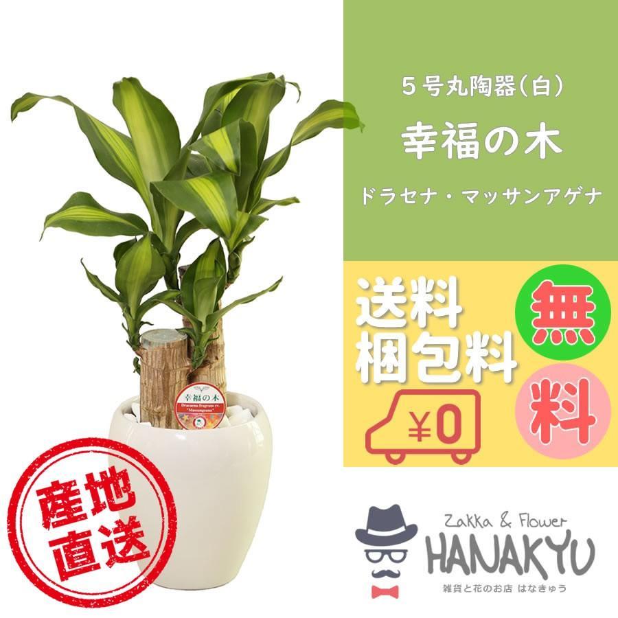 人気の観葉植物 新作入荷 幸福の木 おしゃれ プレゼント 5号 丸陶器鉢 受け皿付き 新作販売 お手軽価格 高さ約55cm 白 ギフトにも自分用にも