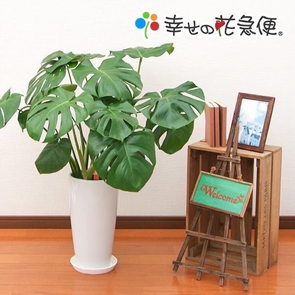 タイムセール 観葉植物 正規品送料無料 モンステラ7号陶器ロング鉢 人気 開店祝い