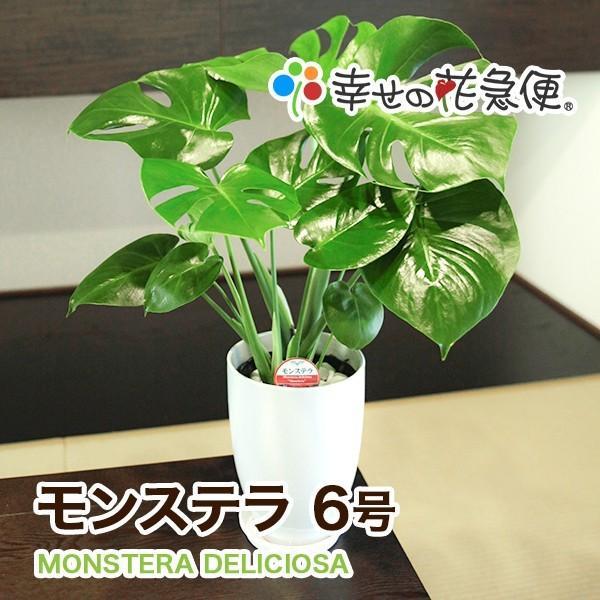 新品未使用正規品 観葉植物 捧呈 モンステラ6号鉢 ランキング 人気