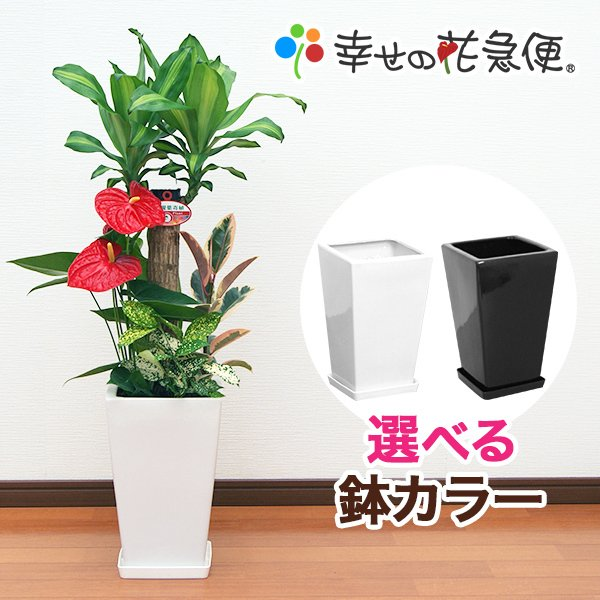 観葉植物 寄せ植え 幸福の木 7号陶器-角鉢 おすすめ 迅速な対応で商品をお届け致します 新築祝い インテリア 人気 新作アイテム毎日更新