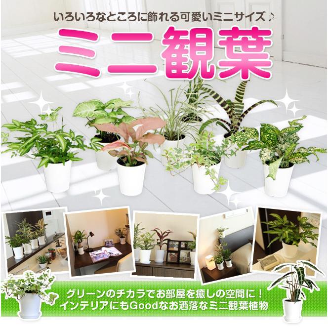 人気急上昇 選べるミニ観葉植物 4鉢セット 正規認証品 新規格 送料無料