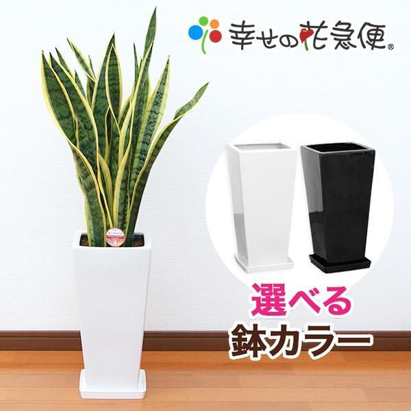 4年保証 観葉植物 サンスベリア 7号高陶器-角鉢 白黒 新築祝い 人気 予約販売品