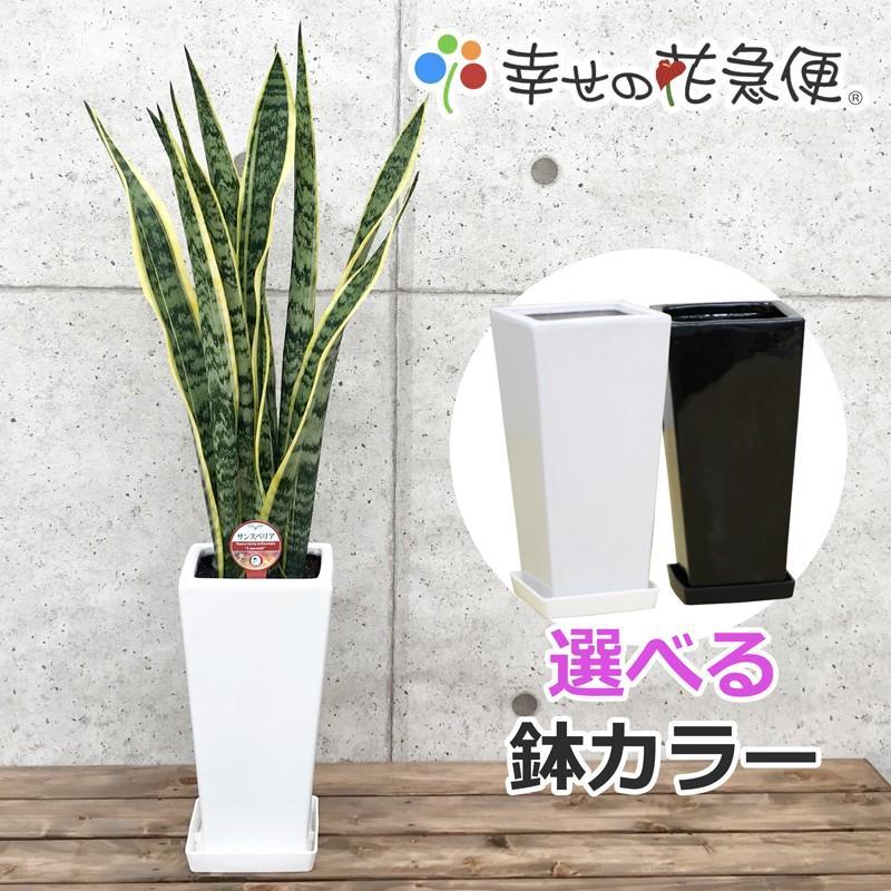 観葉植物 サンスベリア 大決算セール 6号鉢 セール特別価格 開店祝い 人気