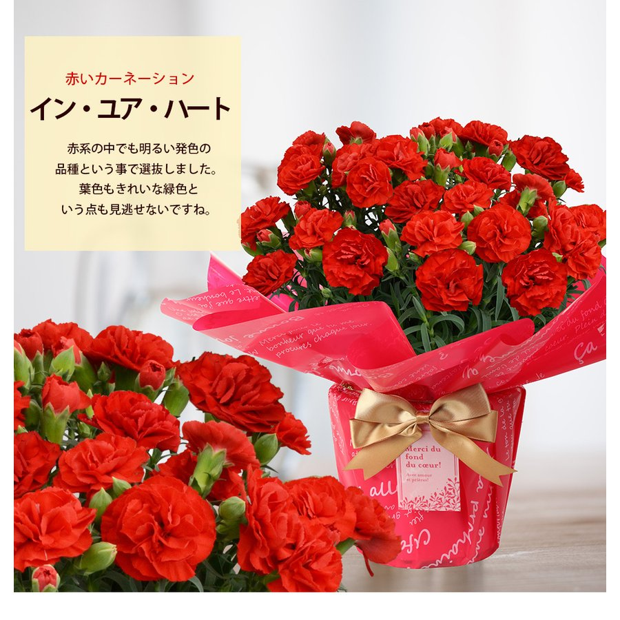 母の日 2021 お花 カーネーション プレゼント 鉢植え ギフト present gift こだわりラッピング|hanamankai|06
