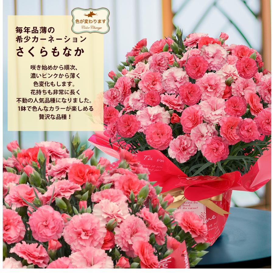 母の日カーネーション6号 鉢植え 花 2021 ギフト プレゼント 大きい おしゃれ プレミアム gift present 選べる7種類|hanamankai|10