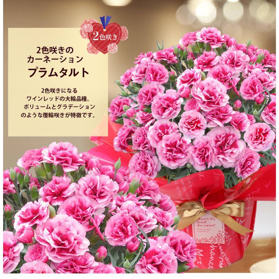 母の日カーネーション6号 鉢植え 花 2021 ギフト プレゼント 大きい おしゃれ プレミアム gift present 選べる7種類|hanamankai|11