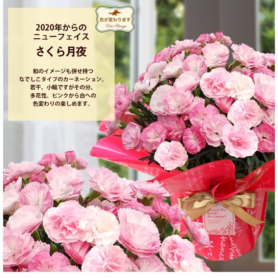 母の日カーネーション6号 鉢植え 花 2021 ギフト プレゼント 大きい おしゃれ プレミアム gift present 選べる7種類|hanamankai|12