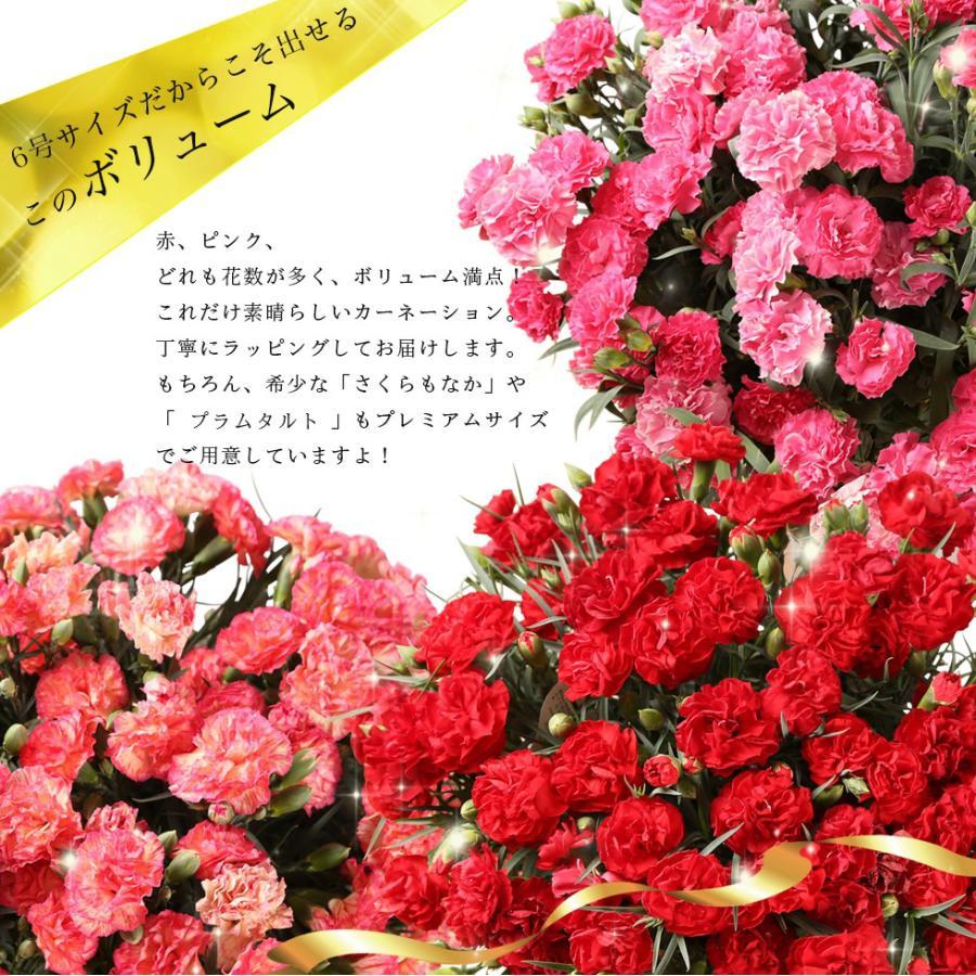 母の日カーネーション6号 鉢植え 花 2021 ギフト プレゼント 大きい おしゃれ プレミアム gift present 選べる7種類|hanamankai|06