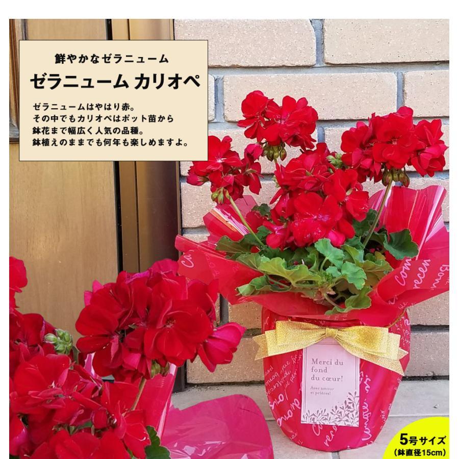 母の日 2021 花 プレゼント present 鉢植え ギフト カーネーション マンデビラ gift こだわりラッピング|hanamankai|12
