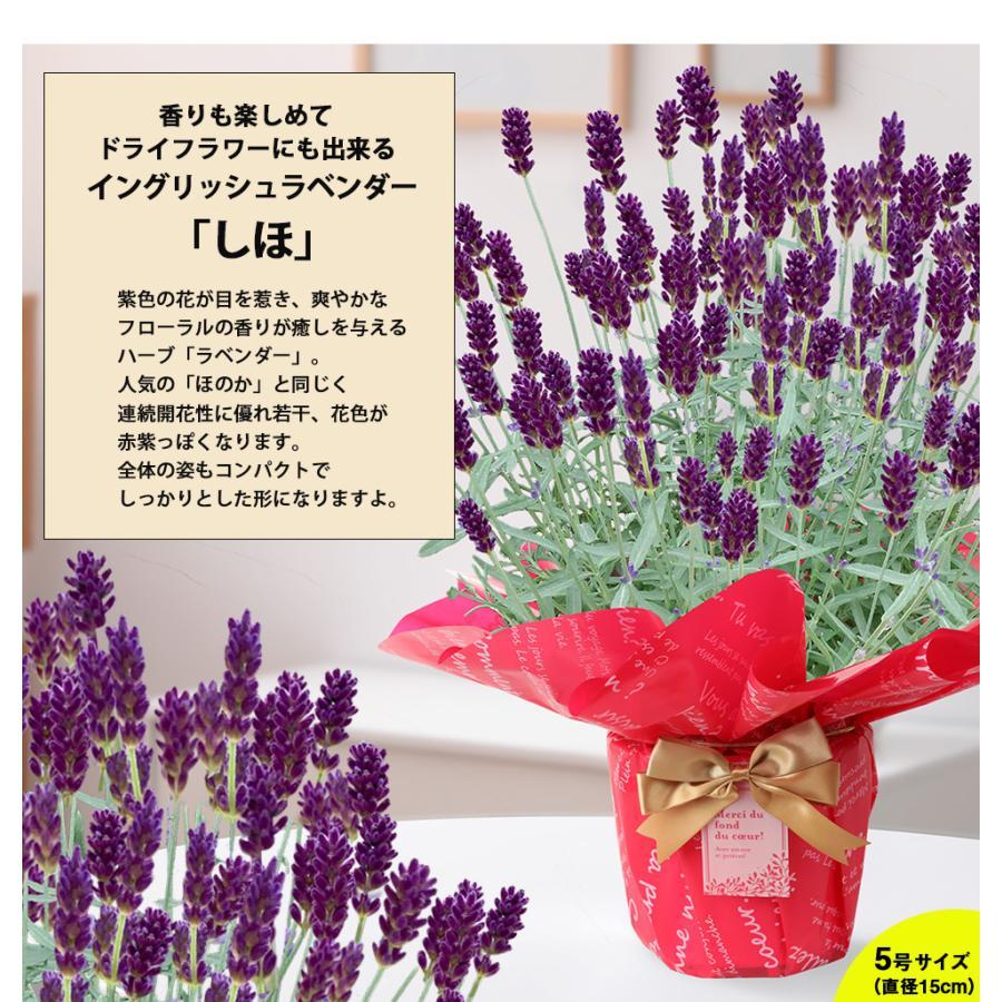 母の日 2021 花 プレゼント present 鉢植え ギフト カーネーション マンデビラ gift こだわりラッピング|hanamankai|10