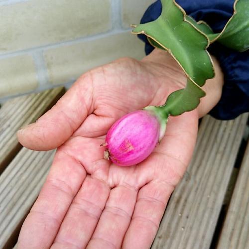 ミニドラゴンフルーツ 果実 苗 4号鉢 トロピカル セール価格 鉢植え 観葉植物 ランキングTOP5 ハンギング 家庭菜園
