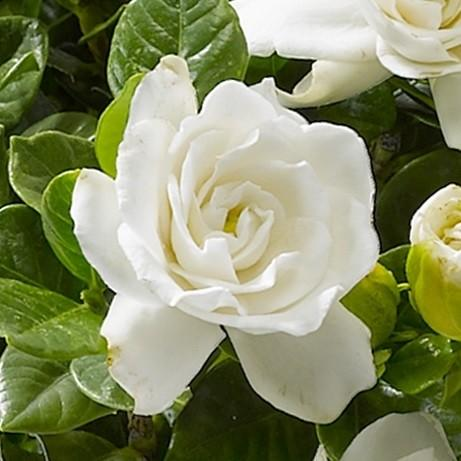 くちなし の 花