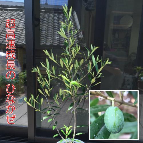 オリーブ アイテム勢ぞろい ひなかぜ 9cmポット苗1株 25%OFF 常緑高木 家庭樹 シンボルツリー オリーブの実も