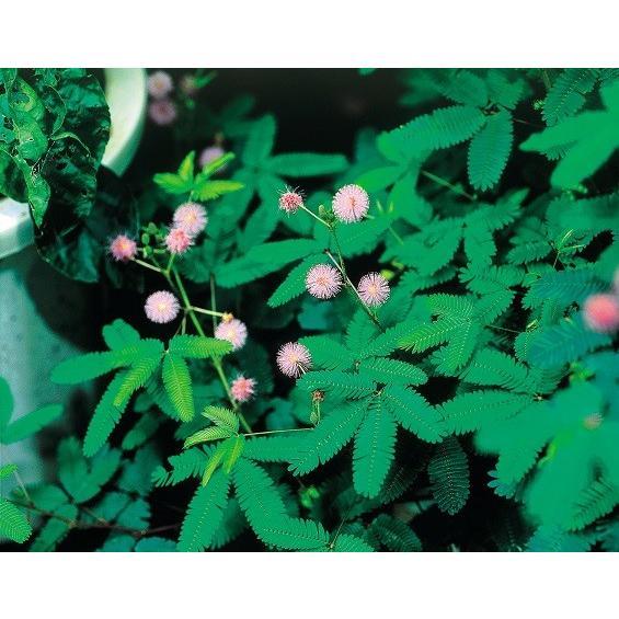 在庫あり おじぎ草 オジギソウ オーバーのアイテム取扱☆ の種 花 第4種または一般郵便発送OK 30粒 育て方の説明書付き