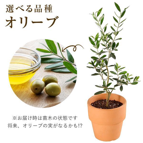 海外 予約販売品 オリーブ 4号鉢 鉢植え 品種 選べる オリーブの木