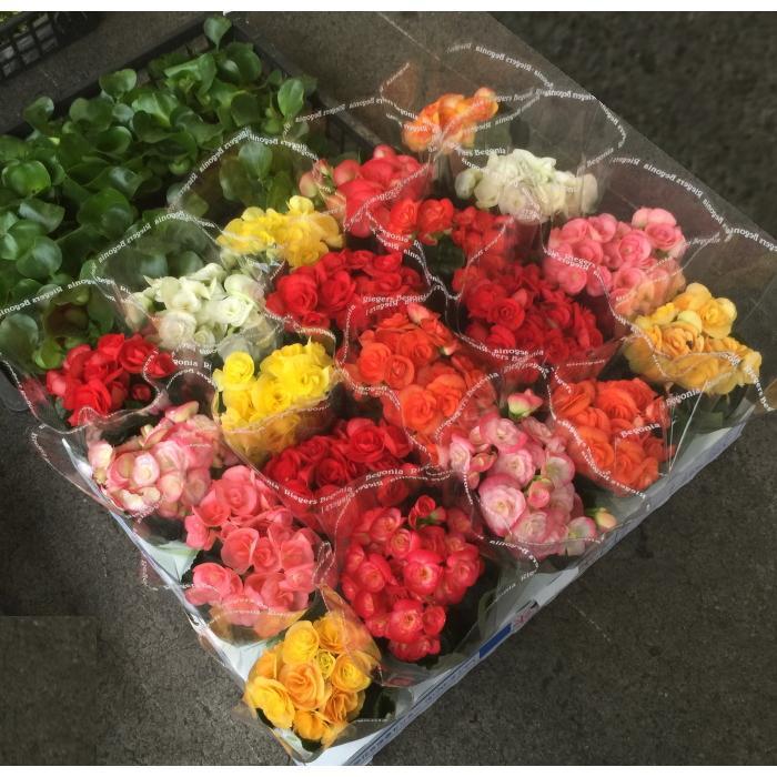 日時指定 リーガーベコニア 花色MIX 日本メーカー新品 3.5寸:最低発注単位20鉢での販売です